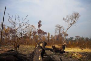 Вырубка леса в бразильском штате Рондония
