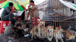 Собаки продаются на рынке собачьего мяса в Юйлинь, Китай.